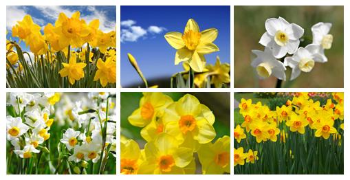 عکس: گلهای نرگس